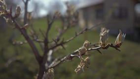 Beaux bourgeons et les premières feuilles de poirier dans le plan rapproché de jardin 4K banque de vidéos