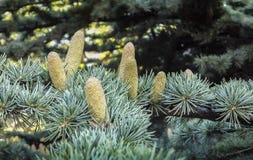 Beaux cônes masculins croissants en gros plan sur les branches du libani de Cedar Tree Cedrus ou du cèdre du Liban à Sébastopol images stock