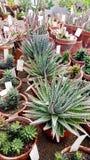 Beaux cactus dans Sofia Botanical Garden photos stock
