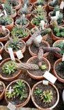 Beaux cactus dans Sofia Botanical Garden photo stock
