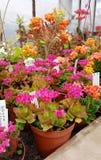 Beaux cactus de floraison dans Sofia Botanical Garden images libres de droits