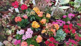 Beaux cactus de floraison dans Sofia Botanical Garden images stock