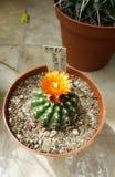 Beaux cactus de floraison dans Sofia Botanical Garden photos stock