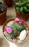Beaux cactus de floraison dans Sofia Botanical Garden image libre de droits