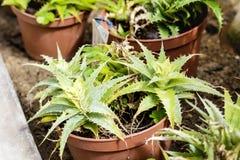 Beaux cactus verts dans Sofia Botanical Garden photo libre de droits