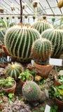 Beaux cactus verts dans Sofia Botanical Garden image stock