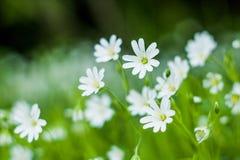 Beaux camomiles blancs frais Image stock