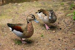 Beaux canards Images libres de droits