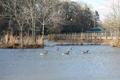 Beaux canards de parc au bord du lac de chien et jour ensoleillé au lac Photographie stock
