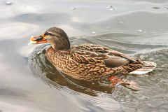 Beaux canards en eau froide 3 Photos stock