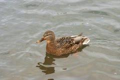 Beaux canards en eau froide 13 Photographie stock libre de droits