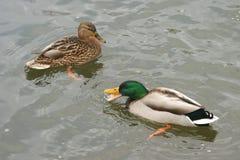 Beaux canards en eau froide 17 Images stock