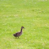 Beaux canards en parc Photo libre de droits