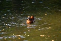 Beaux canards en parc Image libre de droits