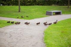 Beaux canards en parc Images libres de droits