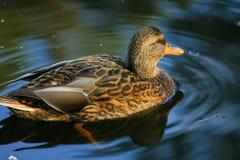 Beaux canards en parc Photos stock