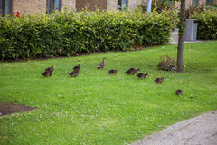 Beaux canards en parc Image stock