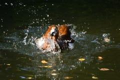 Beaux canards en parc Photographie stock