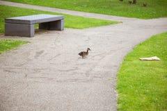 Beaux canards en parc Images stock