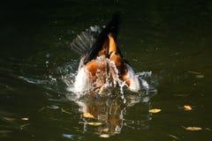 Beaux canards en parc Photographie stock libre de droits