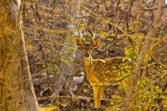 Beaux cerfs communs dans la forêt dense Image stock
