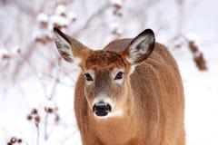 Beaux cerfs communs en hiver images libres de droits