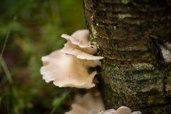 Beaux champignons blancs s'élevant sur une écorce d'arbre en été Photo stock