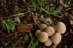 Beaux champignons de couche Photographie stock