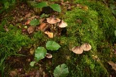 Beaux champignons de couche Images stock