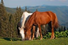 Beaux chevaux au pâturage des montagnes Photographie stock