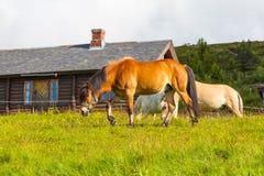 Beaux chevaux de fjord scandinave sur le pâturage photos stock
