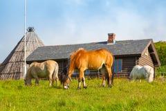 Beaux chevaux de fjord scandinave sur le pâturage images stock