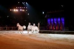 Beaux chevaux de lusitano Photographie stock libre de droits