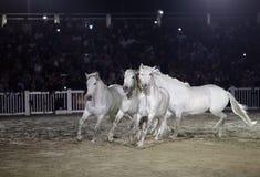 Beaux chevaux de lusitano exécutant dans l'arène de sable Photo libre de droits