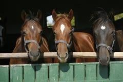 Beaux chevaux de pur sang à la porte de grange Photographie stock