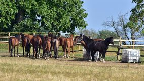 Beaux chevaux de race Image stock
