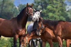 Beaux chevaux de race Photo libre de droits