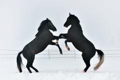 Beaux chevaux extérieurs en hiver photo stock
