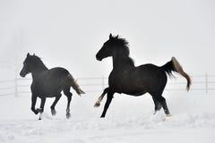 Beaux chevaux fonctionnant en hiver Photo libre de droits