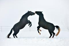 Beaux chevaux fonctionnant en hiver Images stock