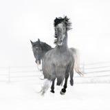 Beaux chevaux fonctionnant en hiver Photo stock