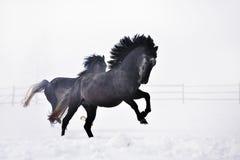 Beaux chevaux fonctionnant en hiver Photographie stock