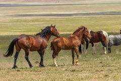 Beaux chevaux sauvages en Utah en été image libre de droits