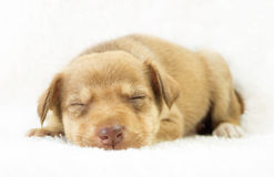 Beaux chiens de chiot Image stock