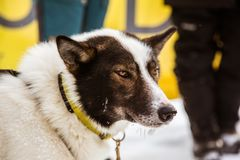 Beaux chiens enroués de l'Alaska à la ligne d'arrivée d'une course de chien de traîneau Images stock
