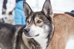 Beaux chiens enroués de l'Alaska à la ligne d'arrivée d'une course de chien de traîneau Image libre de droits