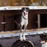 Beaux chiens enroués de l'Alaska attendant une course de chien de traîneau pour commencer Photos libres de droits