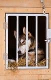 Beaux chiens enroués de l'Alaska attendant une course de chien de traîneau pour commencer Photo stock