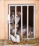 Beaux chiens enroués de l'Alaska attendant une course de chien de traîneau pour commencer Images stock