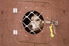 Beaux chiens enroués de l'Alaska attendant une course de chien de traîneau pour commencer Photographie stock libre de droits